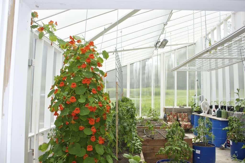 Nasturtium pollinator plant climbing the finished tomato trellis