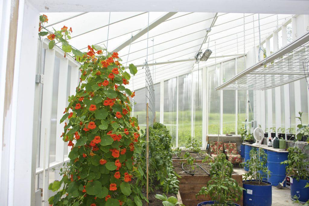 Nasturtium pollinator plant