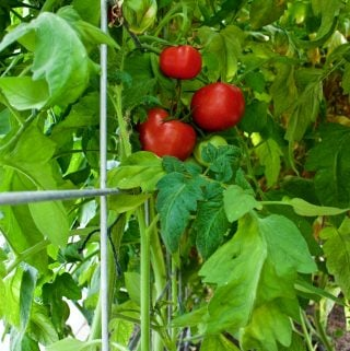 Tomato trellis-Double Hog Wire Panels