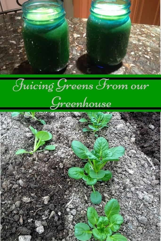 Juicing Greens From our Greenhouse
