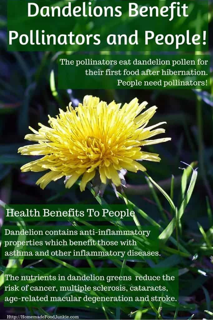 Dandelions Benefit us and pollinators in early spring!http://HomemadeFoodJunkie.com