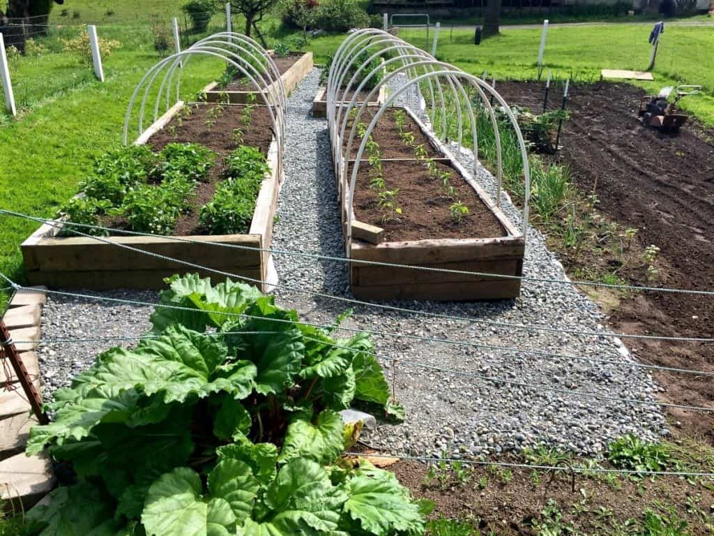 Rhubarb in the Garden with gravel walks and raised beds http://Homemadefoodjunkie.com