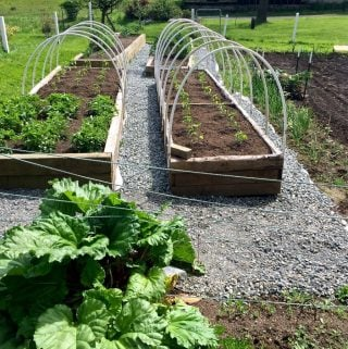 Rhubarb in our Garden with gravel walks and raised beds http://Homemadefoodjunkie.com