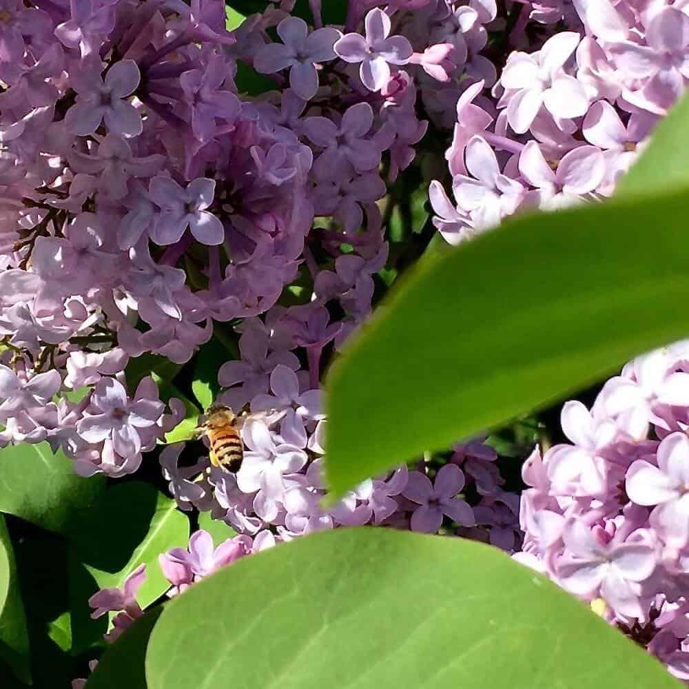 Pollinators at work.Dandelions Benefit them too!