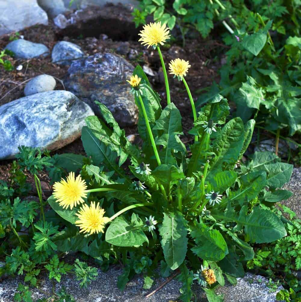 Dandelions Benefit pollinators and people. They are the first food for pollinators and full of excellent nutrients for people. http://HomemadeFoodJunkie.com