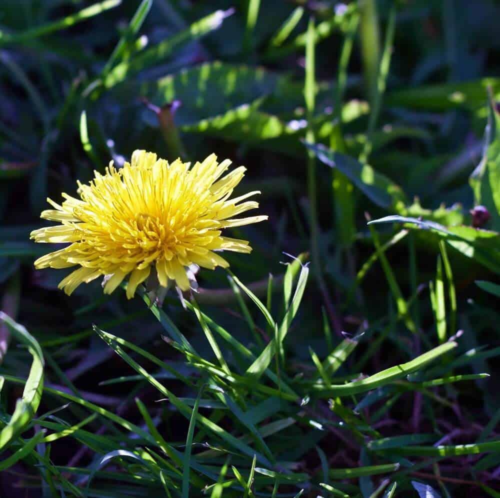 Dandelions Benefit