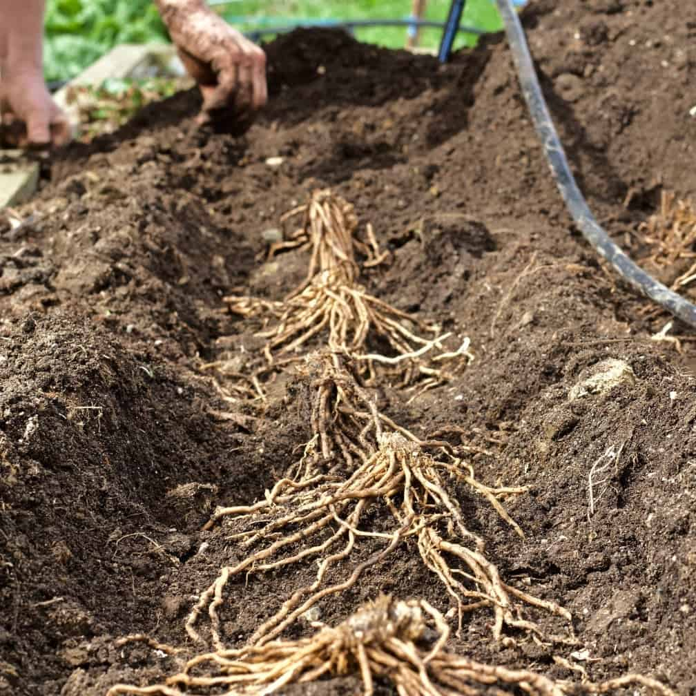 Asparagus crowns in a dirt trench.