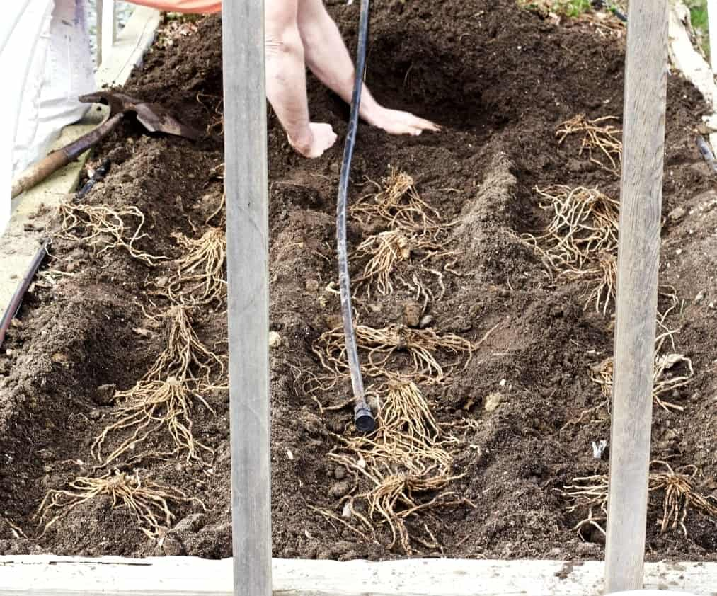 planting asparagus crowns in a dirt trench.
