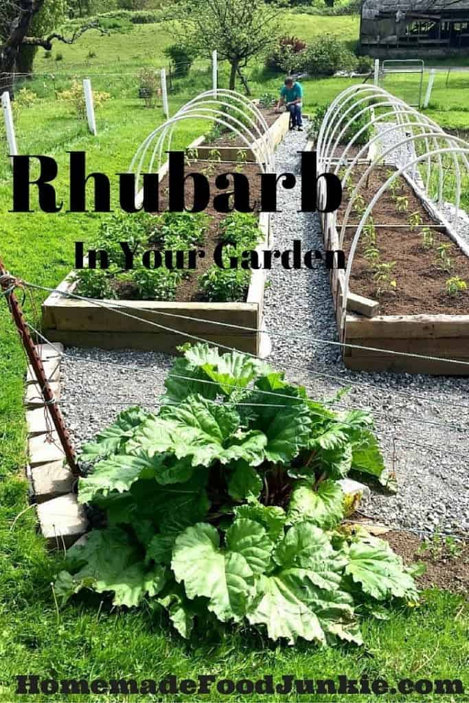 Rhubarb In Your Garden