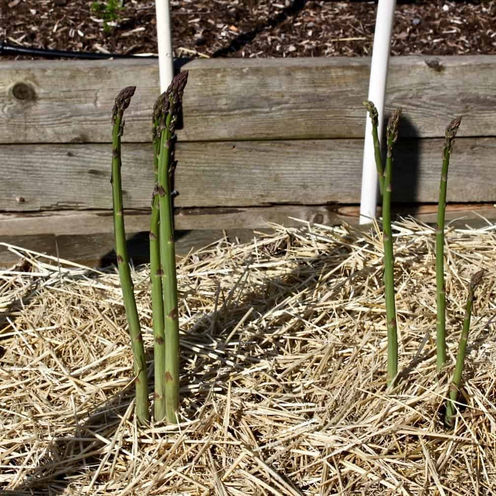 asparagus spears-first year