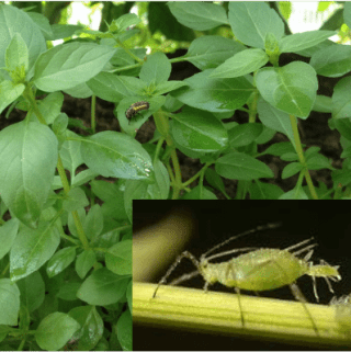 Diy Organic Insecticidal Spray
