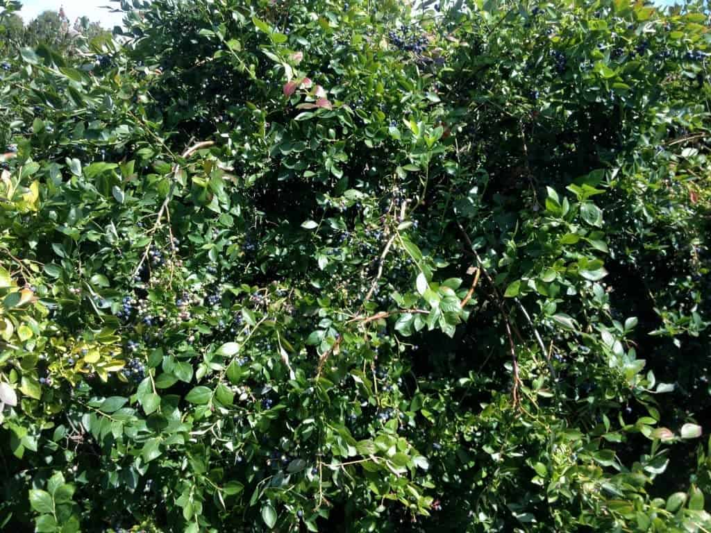 100 year old blueberry bush