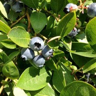 Freezing Blueberries Easily