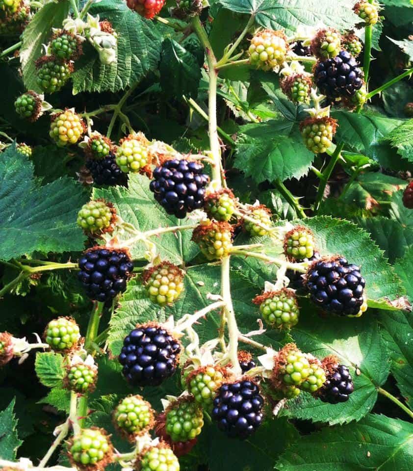 Blackberries on the vine ready for harvest and blackberry pie