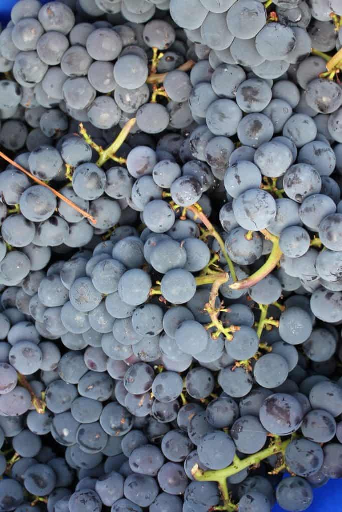 Lynden Blue Grapes