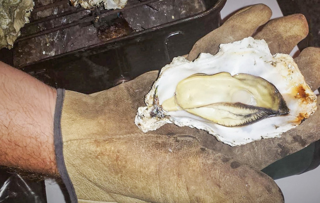 Grilled Oyster on the half shell