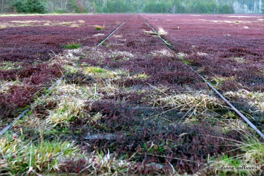 cranberry bog at Grayland Wa.