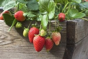 container strawberries