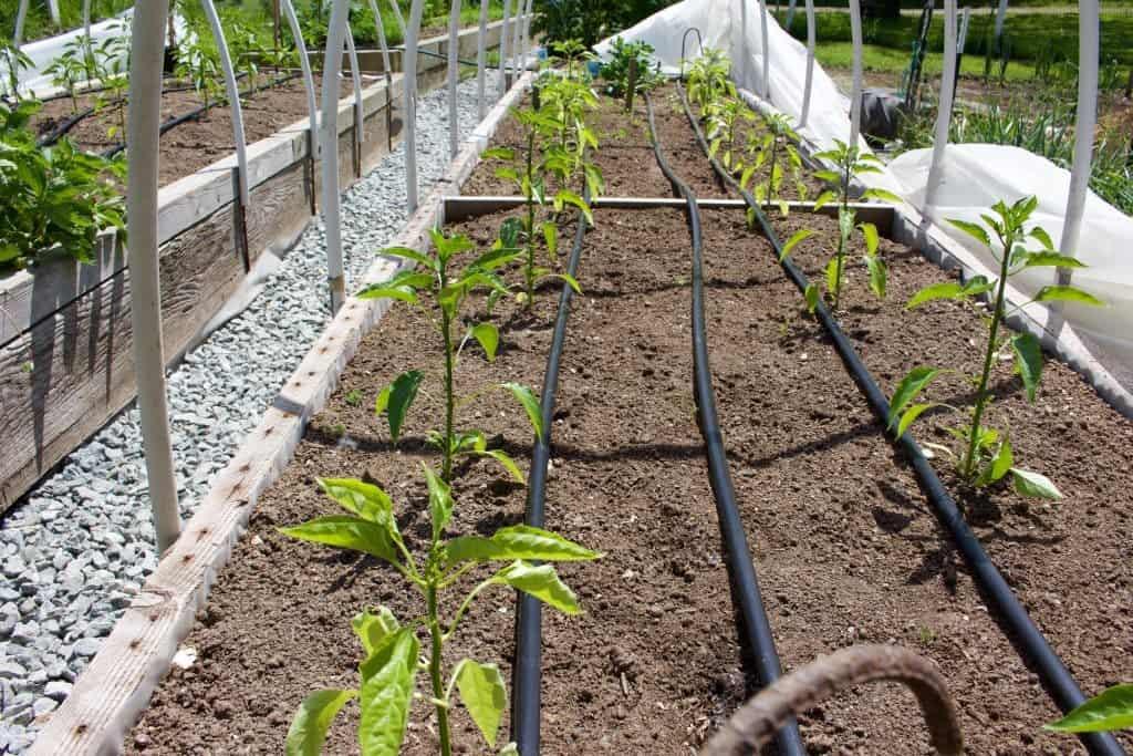 Garden Pepper crop. A sad tail