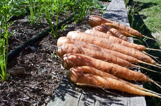 garden carrots 2015