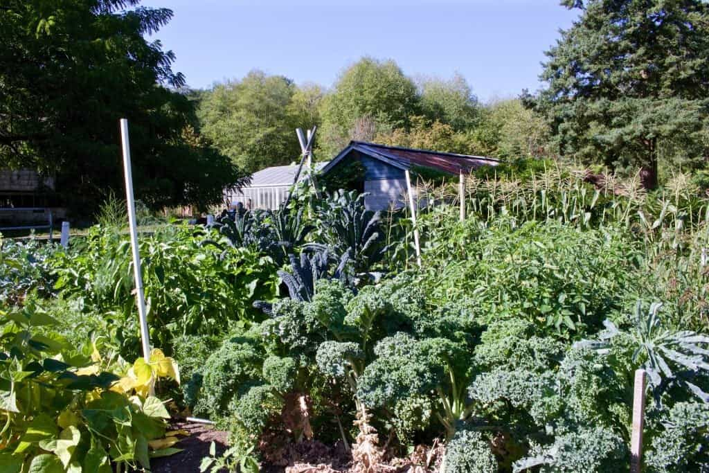 Blue Scotch kale is our garden-foreground lower right. Perfect for Spring Green Smoothie http://HomemadeFoodjunke.com