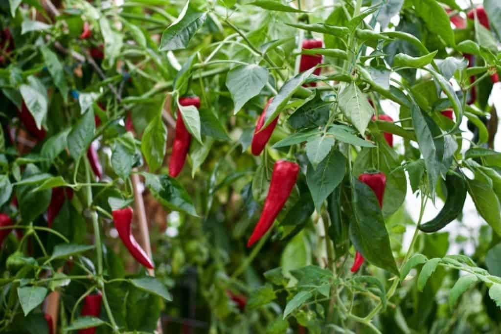 greenhouse pepper crop 2015 http://HomemadeFoodjunkie.com