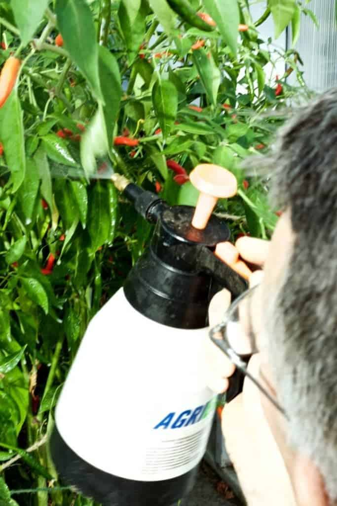 Neem oil spray to organically combat pests on peppers 5 tips for growing perfect peppers