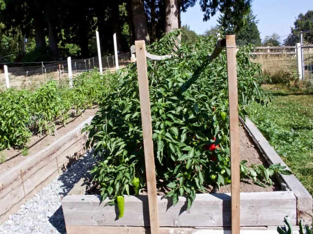 Garden Peppers 5 Tips for growing perfect peppers http://HomemadeFoodJunkie.com