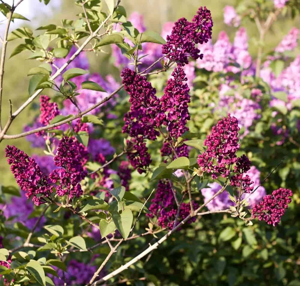 Lilac-Spring Flowering Bushes You'll Love