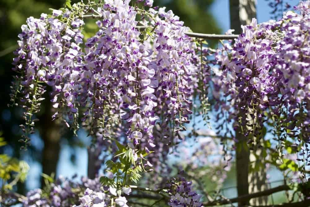 Wisteria Vine-Spring Flowering Bushes You'll Love