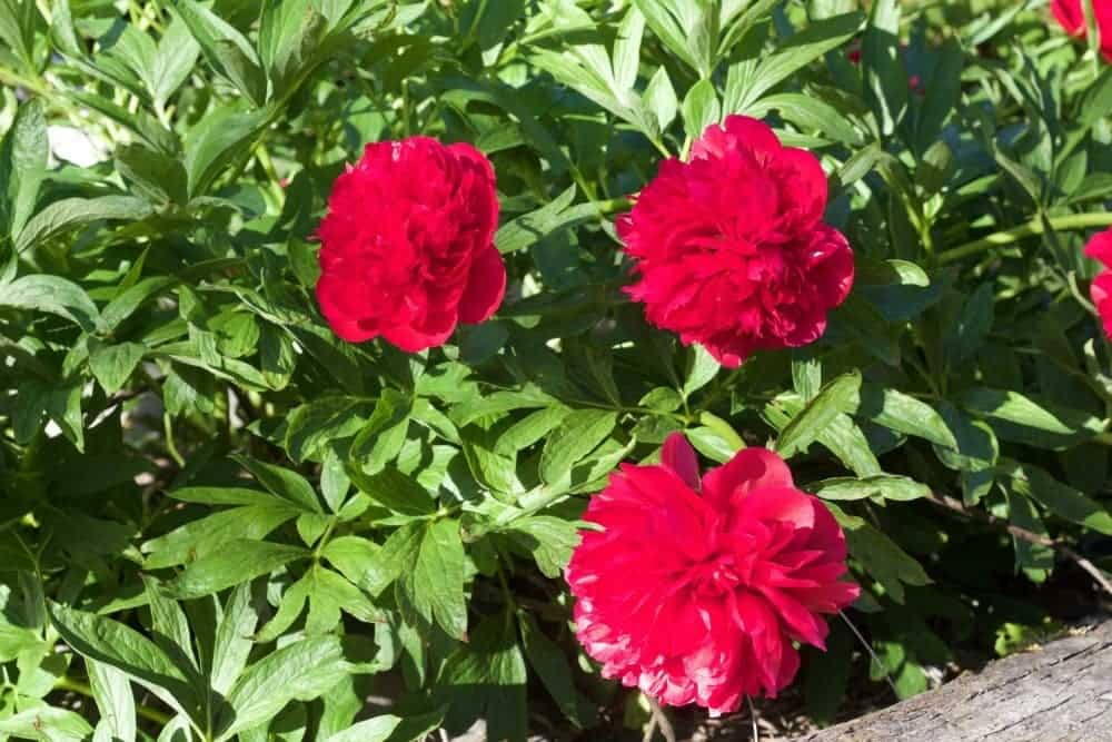 Red Peony -Spring Flowering Bushes You'll Love