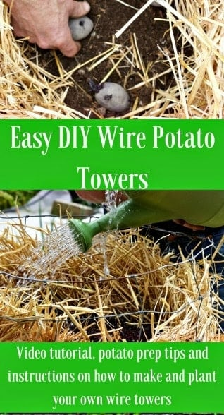 Easy DIY Wire Potato Towers are easy to make, and easy to harvest! They are fantastic garden space savers! #DIYPOTATOTOWERS #potatotowers #growingpotatoes #gardentipspotatoes