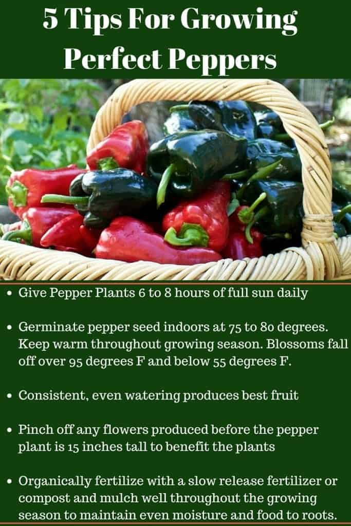5 Tips For Growing Perfect Peppers will get you off to a great start for a fantastic pepper harvest. Read the full post for more tips and tricks at http://homemadeFoodJunkie.com