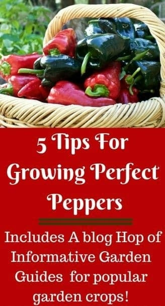5 Tips For Growing Perfect Peppers. peppers are easy to grow if you have the correct conditions for them. Peppers, like tomatoes love warmth and do have a few requirements to keep them happy and productive. #growingpeppers #gardentips #plantingguide #peppertips #Bloghop