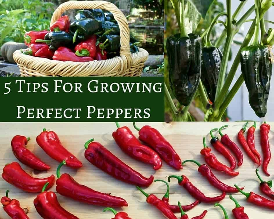 5 Tips For Growing Perfect Peppers