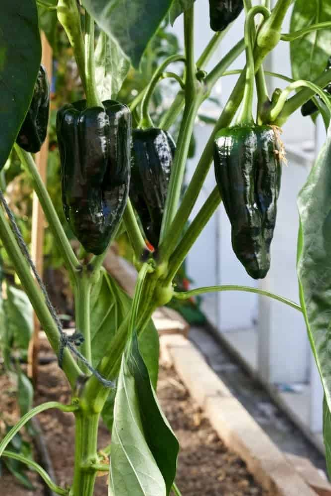 Tiburon peppers are an EXCELLENT roasting pepper-5 tips for growing perfect peppers http://homemadeFoodJunkie.com