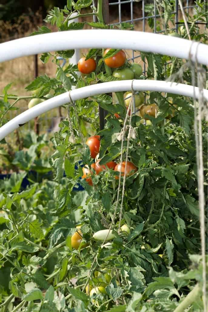 Garden Tomatoes on a trellis