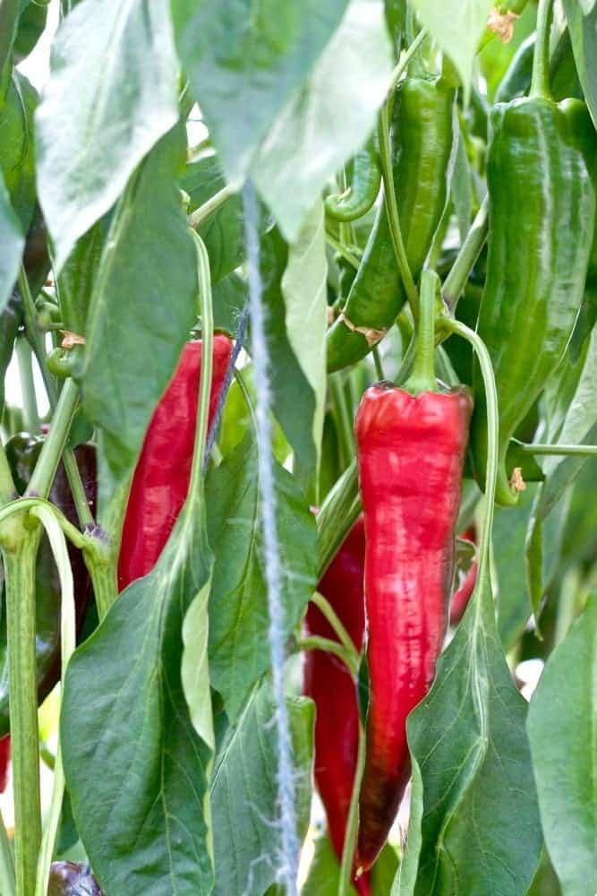 Krimson Lee Peppers greenhouse grown