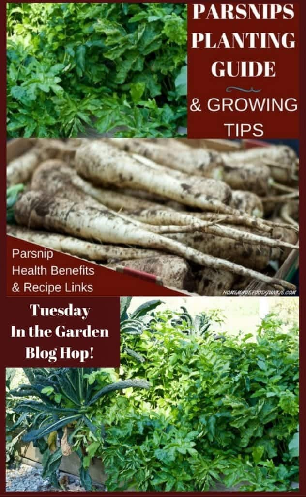 Grow parsnips garden guide for planting, harvesting, health benefits and recipe links
