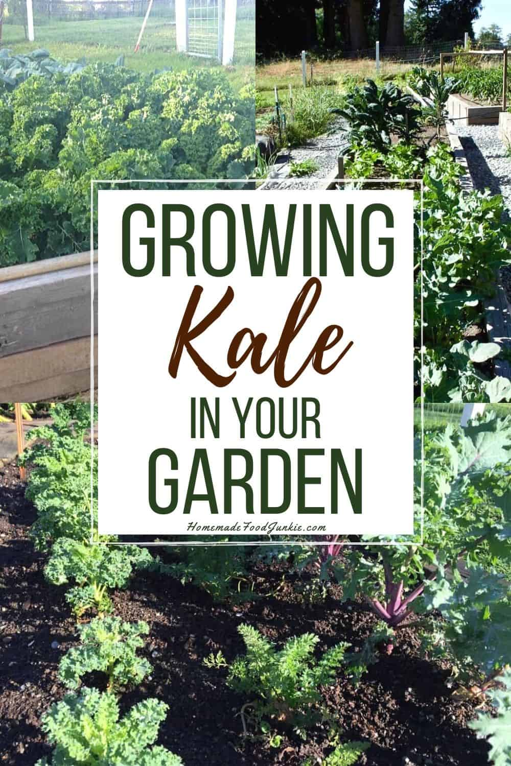 Growing kale in your garden-pin image