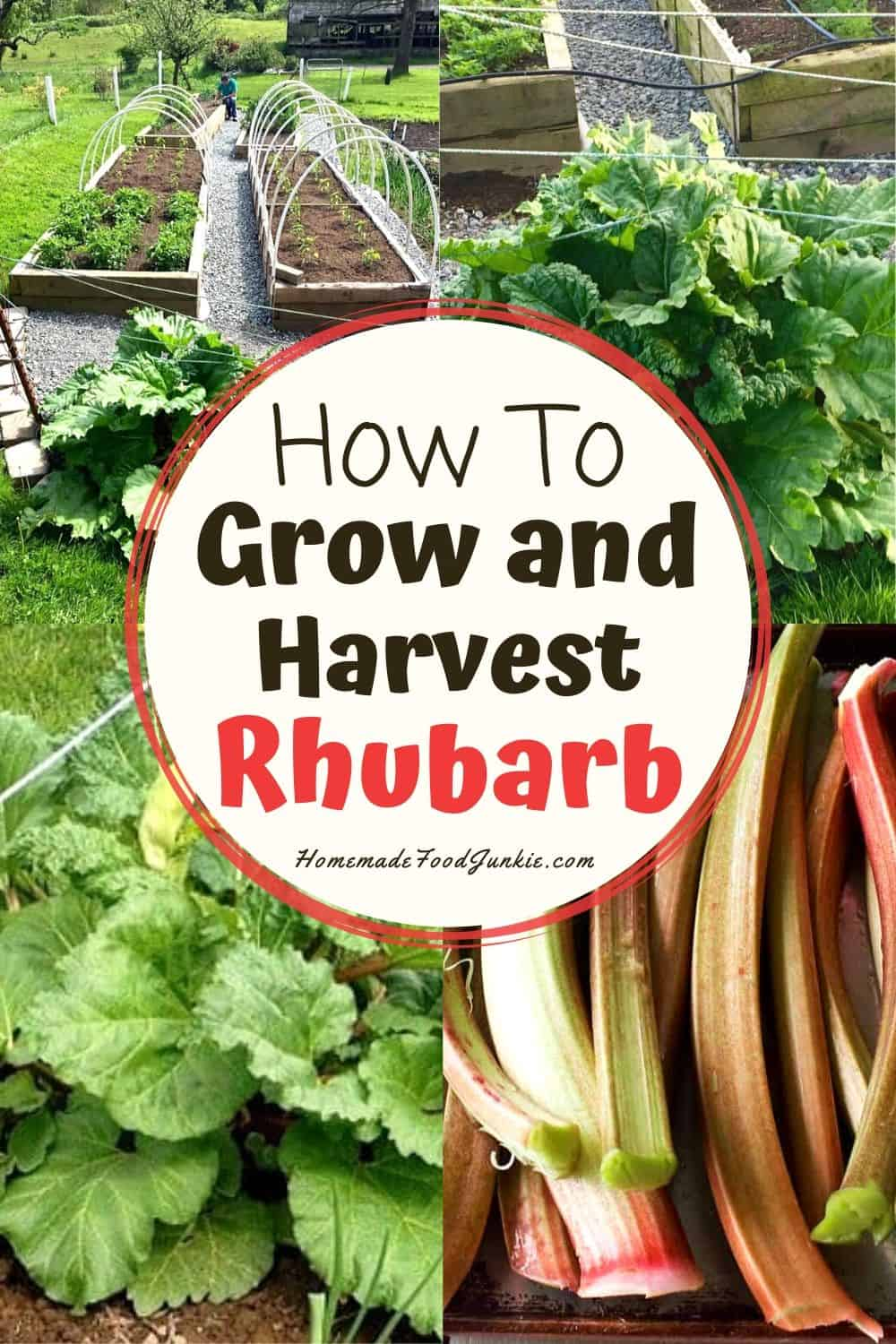 How to grow and harvest rhubarb-pin image