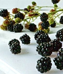 Fresh Blackberries on the vine