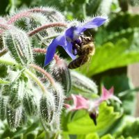 Bee in Borage