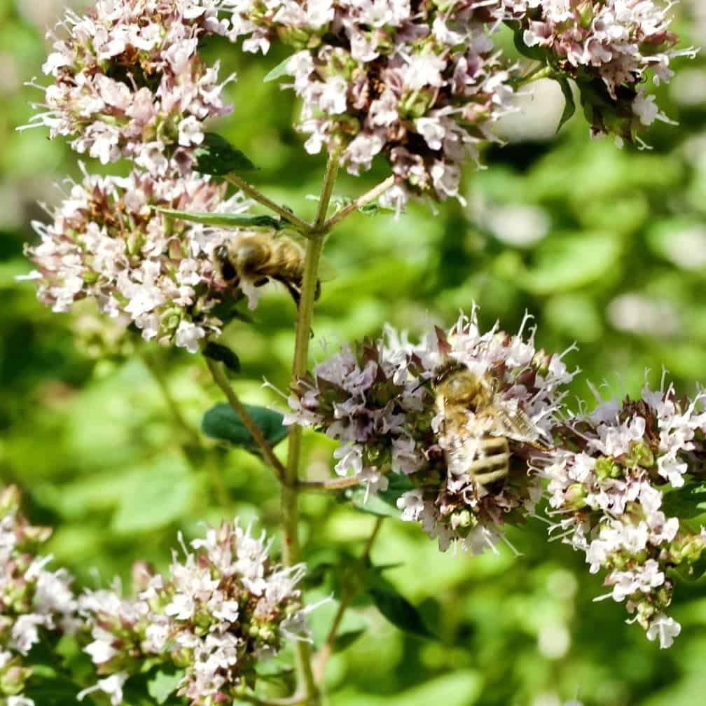 Bees in Oregano