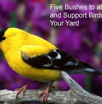 Five bushes That Attract & Support Birds in your yard