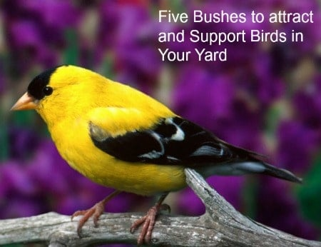 Five bushes To Attract & Support Birds in your yard