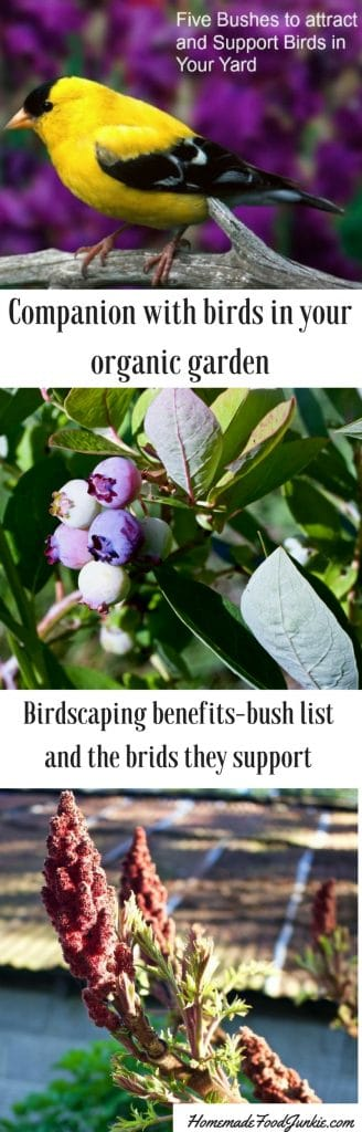 Birdscaping offers benefits to organic gardeners and support our wild birds. This post offers info, ideas and suggestions for five bushes that support our birds.