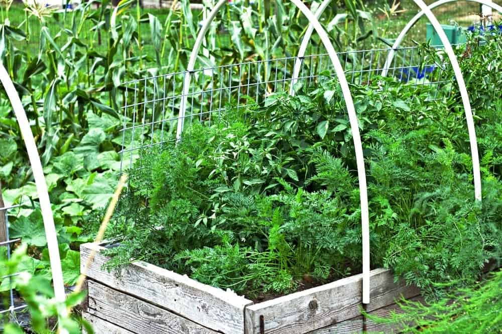 Carrots, Peppers, corn and butternut vines in our 2017 garden.