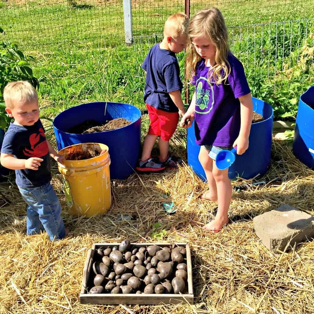 Taking Stock Of the Garden. Harvesting Purple Potatoes from the potato barrels.
