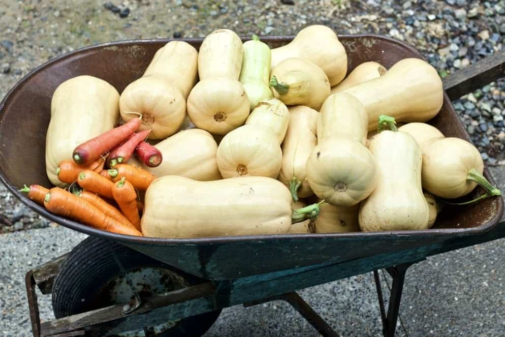 9 tips for gardening success. Butternut Squash in a wheel barrow